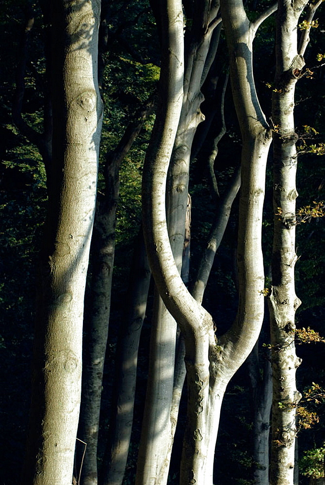 Common beech (Fagus sylvatica), Ruegen Island, Jasmund National Park, September, Germany