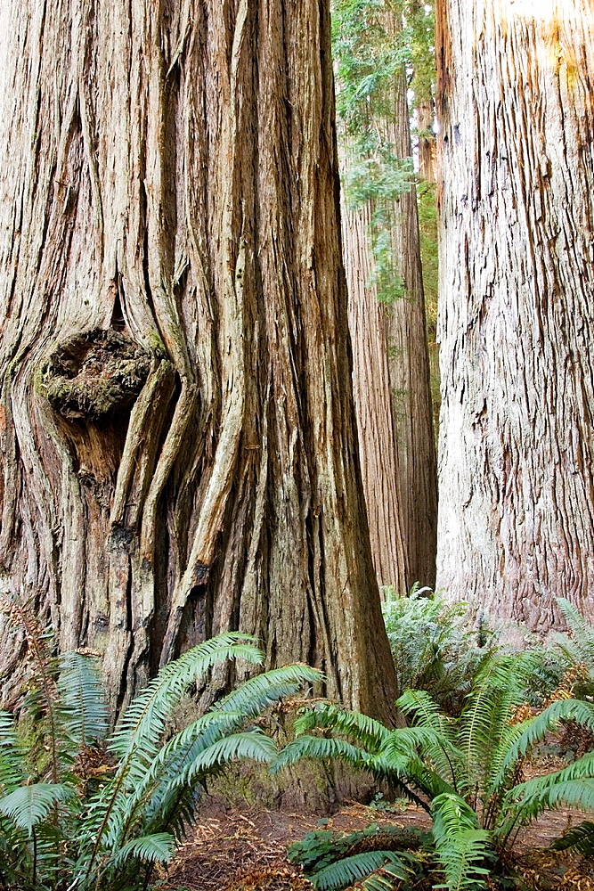 Ancient Redwoods, Stout Grove, Jedediah Smith Redwoods State Park, near Crescent City, California