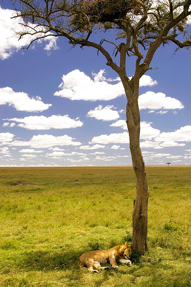 Lion sleeping under lone tree, Masai Mara National Reserve, Kenya