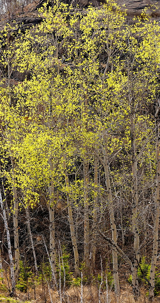Aspens with early spring foliage at edge of beaver pond