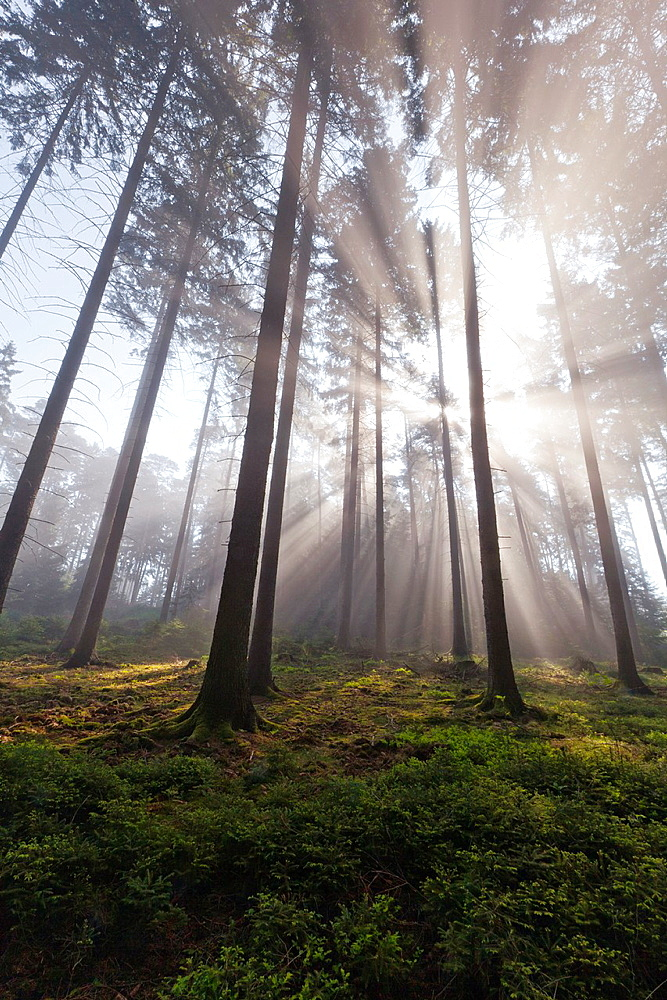 Sunlight filtering through fir trees and early morning mist in spring, Lower Saxony, Germany