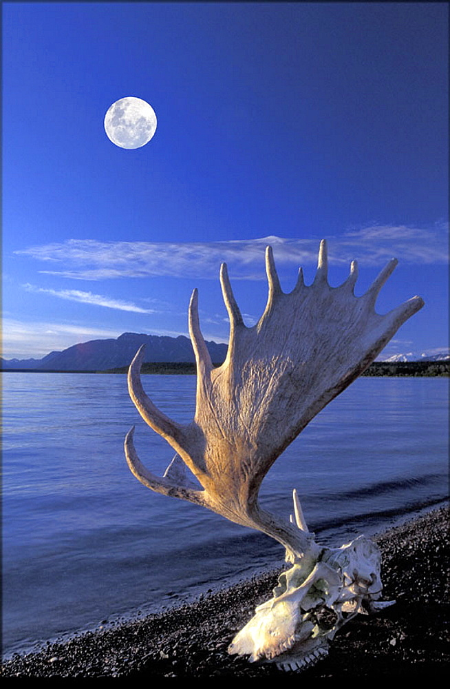 scenery, landscape, elk, moose, antlers, skull, dead, elk skull, shore, lake, moon, full moon, water, dusk, twilight, . scenery, landscape, elk, moose, antlers, skull, dead, elk skull, shore, lake, moon, full moon, water, dusk, twilight,