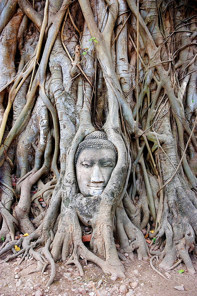 Thailand, Asia, Ayutthaya town, city, Wat Phra Mahathat, head, Buddha, Buddhism, cultural site, temple, symbol, nature. Thailand, Asia, Ayutthaya town, city, Wat Phra Mahathat, head, Buddha, Buddhism, cultural site, temple, symbol, nature