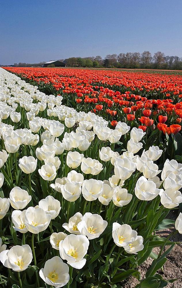 Netherlands, Holland, Noord_Holland, Middenmeer, Landscape, Flowers, Spring, tulip field, panorama, tulip field, red, white, tulips. Netherlands, Holland, Noord_Holland, Middenmeer, Landscape, Flowers, Spring, tulip field, panorama, tulip field, red, white, tulips