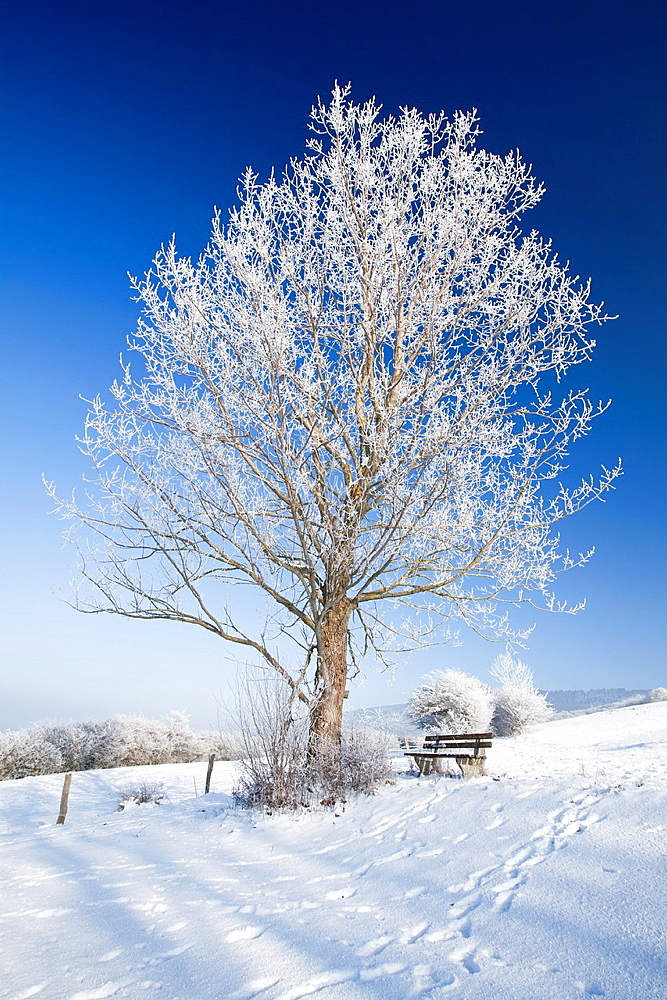 Poplar Tree Populus hybrid, covered in snow and frost, Hohen Meissner National Park, Hessen, Germany