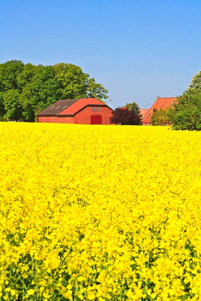 Farmhouse in a field of rape in Lower Saxony, Germany, Europe