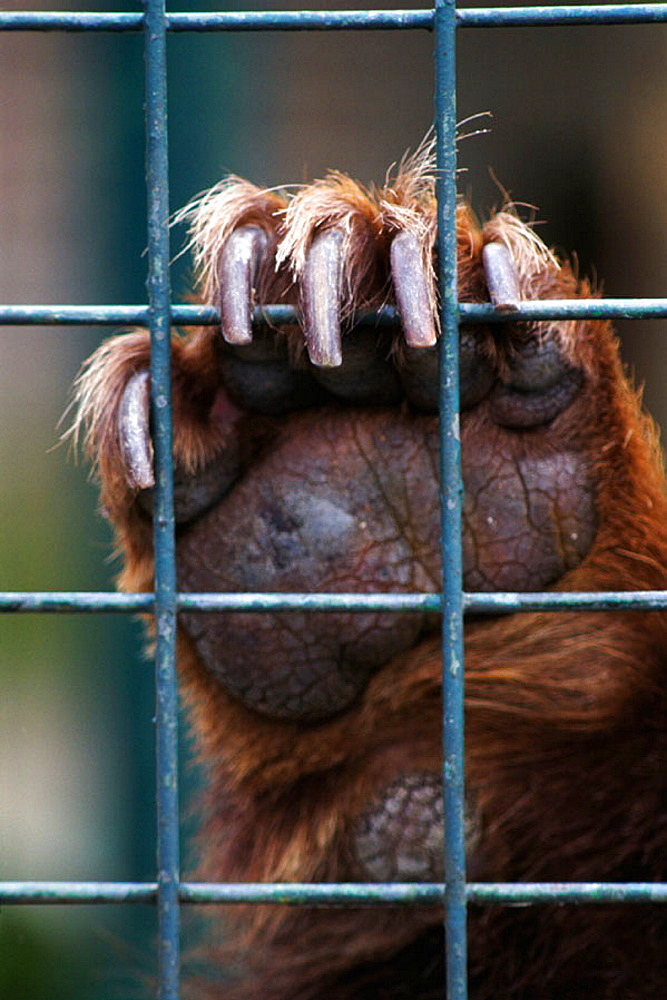 Captive Brown Bear