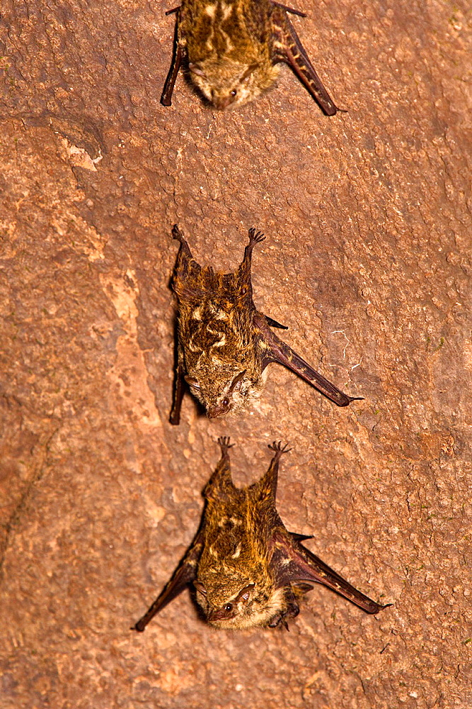 Brazilian Long-nosed Bats Rhynchonycteris naso roosting on a tree trunk in the Osa Peninsula, Costa Rica