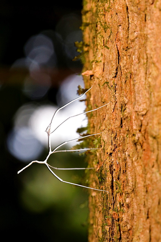 Albino walkingstick insect in the Osa Peninsula of Costa Rica