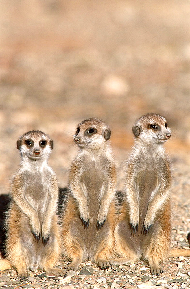 Meerkat or suricate (Suricata suricatta) 3 young on the lookout at the edge of their burrow, Kgalagadi Desert, Southeast Namibia
