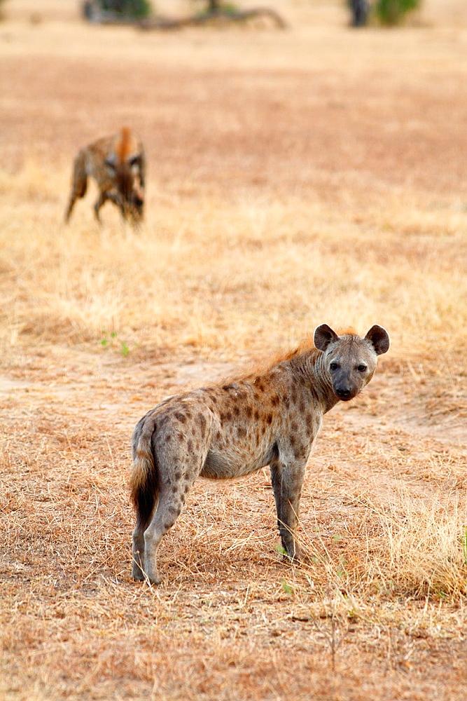 Spotted Hyenas Crocuta crocuta, Selous National Park, Tanzania
