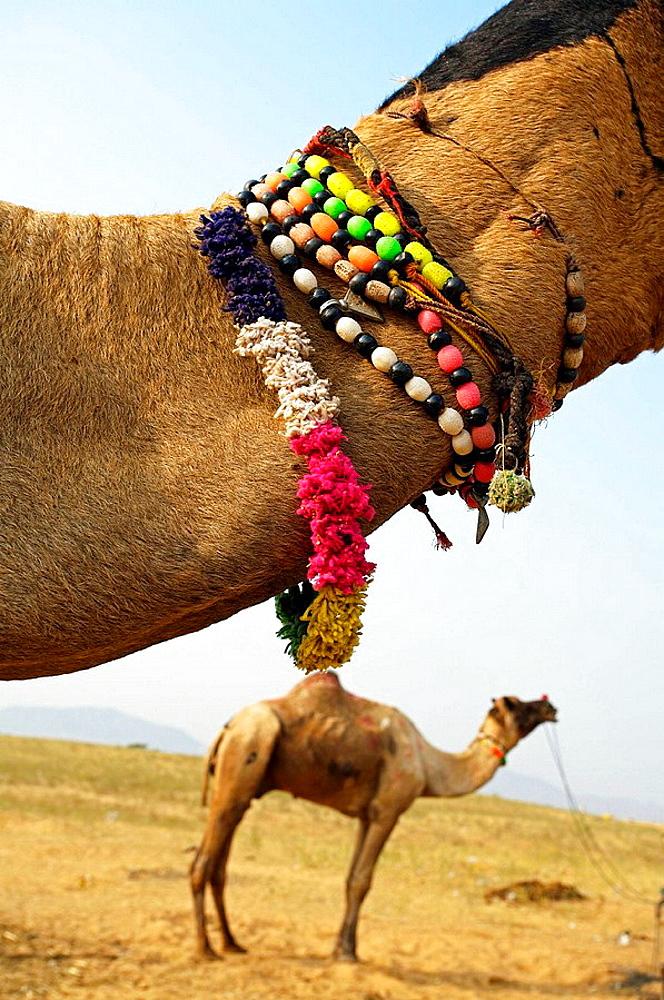 Pushkar camel fair, Pushkar, Rajasthan, India, Asia - 817-37470