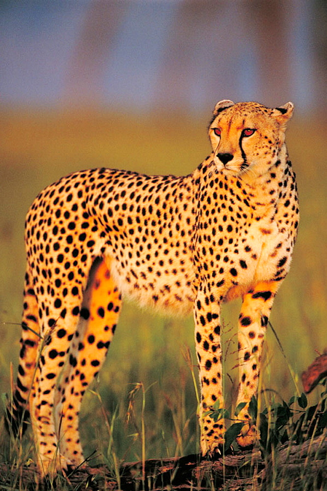 Cheetah, Masai Mara, Kenya - 817-3886