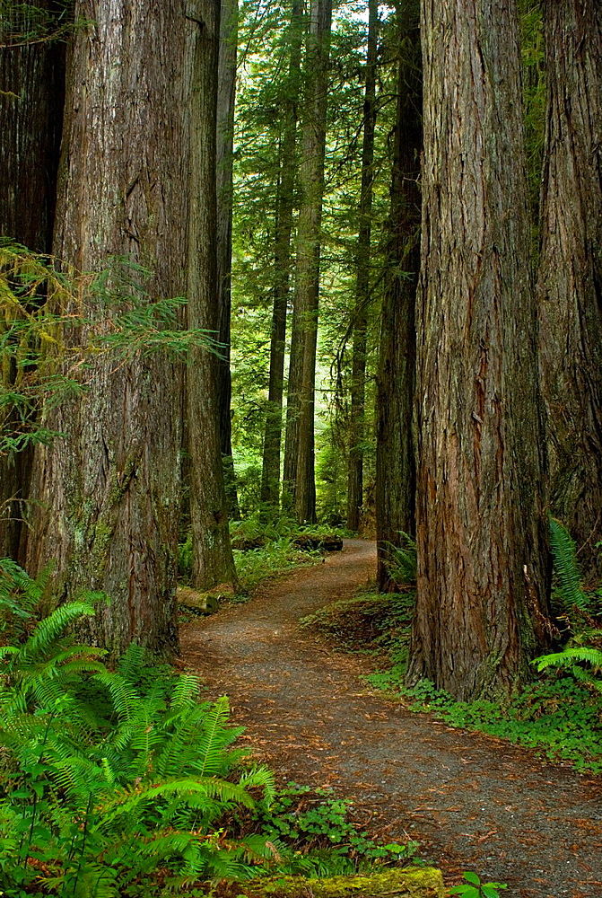 Hiking trail through coast redwoods, Sequoia sempervirens, in old growth redwood forest, Prairie Creek Redwoods State Park, California