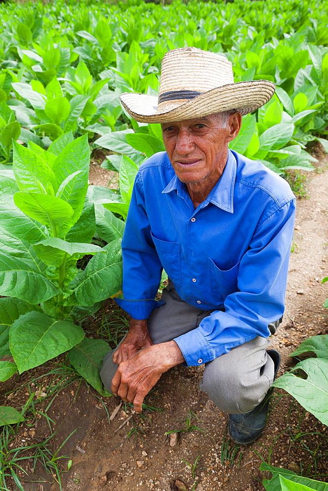 Cuba, Pinar del Rio Province, San Luis, Alejandro Robaina Tobacco Plantation, tobacco plants and planter, NR