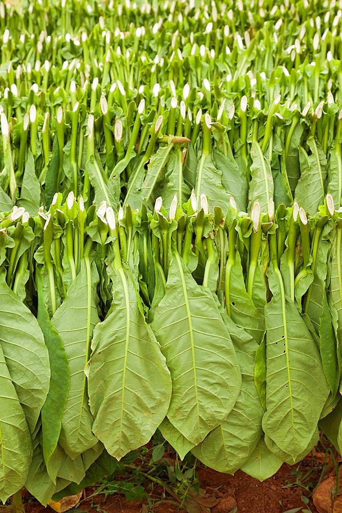 Cuba, Pinar del Rio Province, Vinales, Vinales Valley, outdoor drying of tobacco leaves