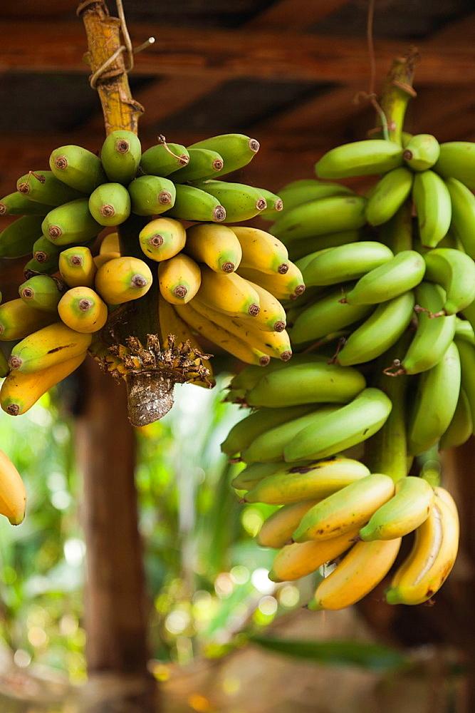 Cuba, Pinar del Rio Province, Vinales, Vinales Valley, El Jardin de Caridad, tropical garden, bananas
