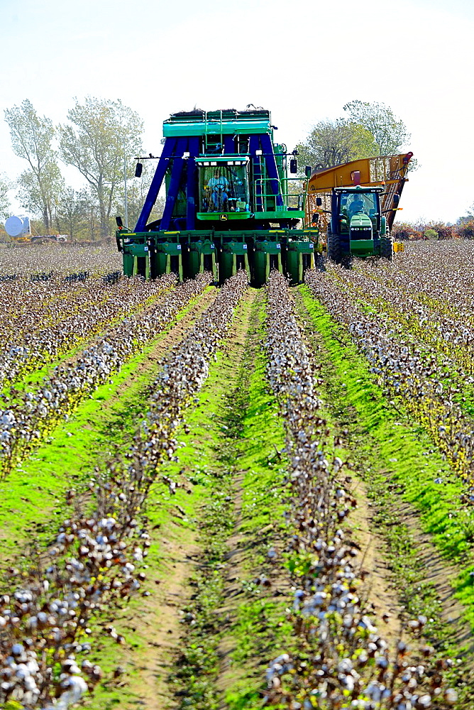 Cotton Field Being Harvested Mississippi US