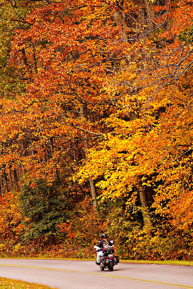 Colorful autumn foliage as leaves change colors along the Blue Ridge National Park near Asheville, North Carolina - 817-409545