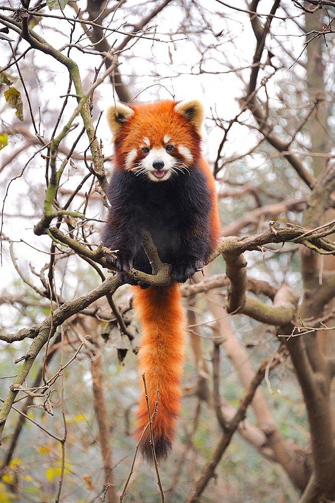 China, Sichuan, Chengdu, Bifengxia Panda Base Chengdu Research Base of Giant Panda Breeding, Red panda - 817-409909
