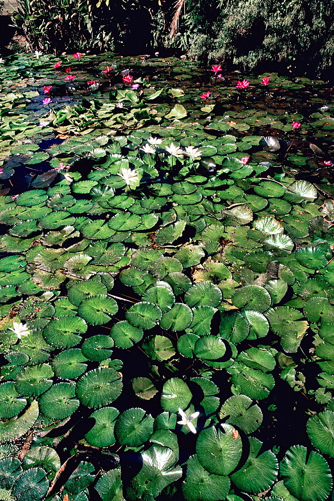 Water Lillies at Sheraton on Nadi Bay in the Fiji Islands