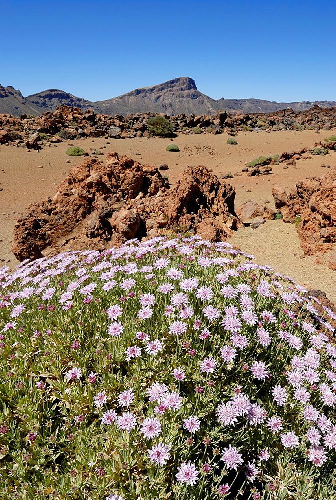 Rosalillo De Cumbre, Pterocephalus Lasiospermus, Mount Teide, National Park, Tenerife, Canary Islands, Atlantic Ocean