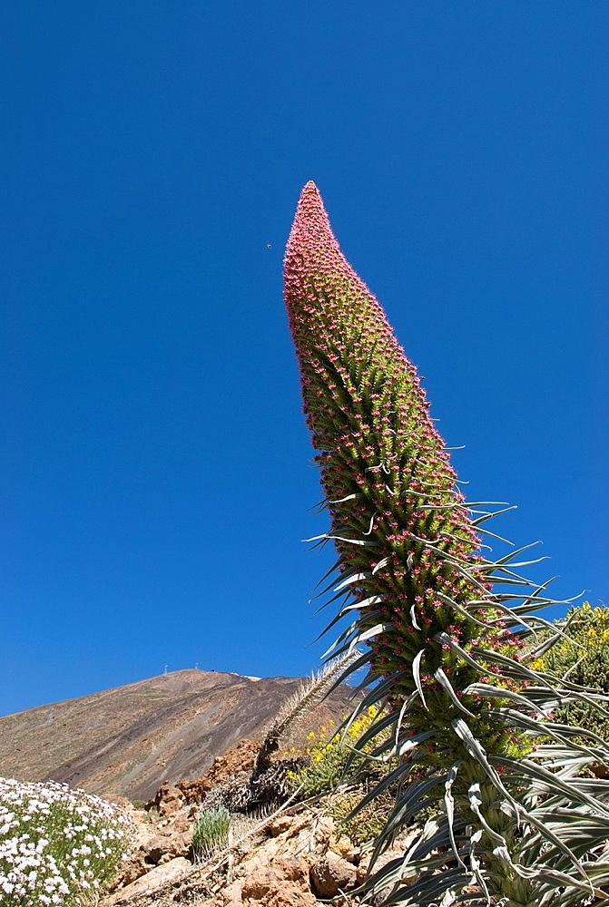 Tower Of Jewels Flowers, Echium Wildpretii, Mount Teide, National Park, Tenerife, Canary Islands, Atlantic Ocean