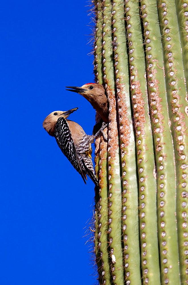 Gila Woodpecker Melanerpes uropygialis, in the nesting hole in Giant Saguaro Carnegiea gigantea, Sonora desert, Saguaro National Park, Tucson, Arizona, USA