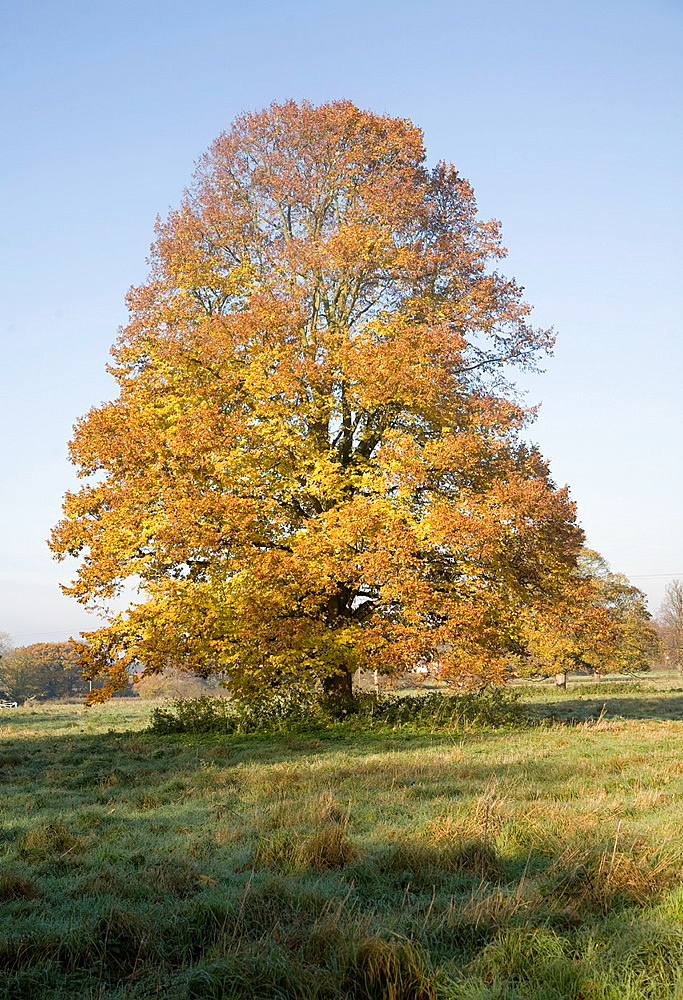 Small leaved lime tree autumn leaf colours standing in field, Sutton, Suffolk, England