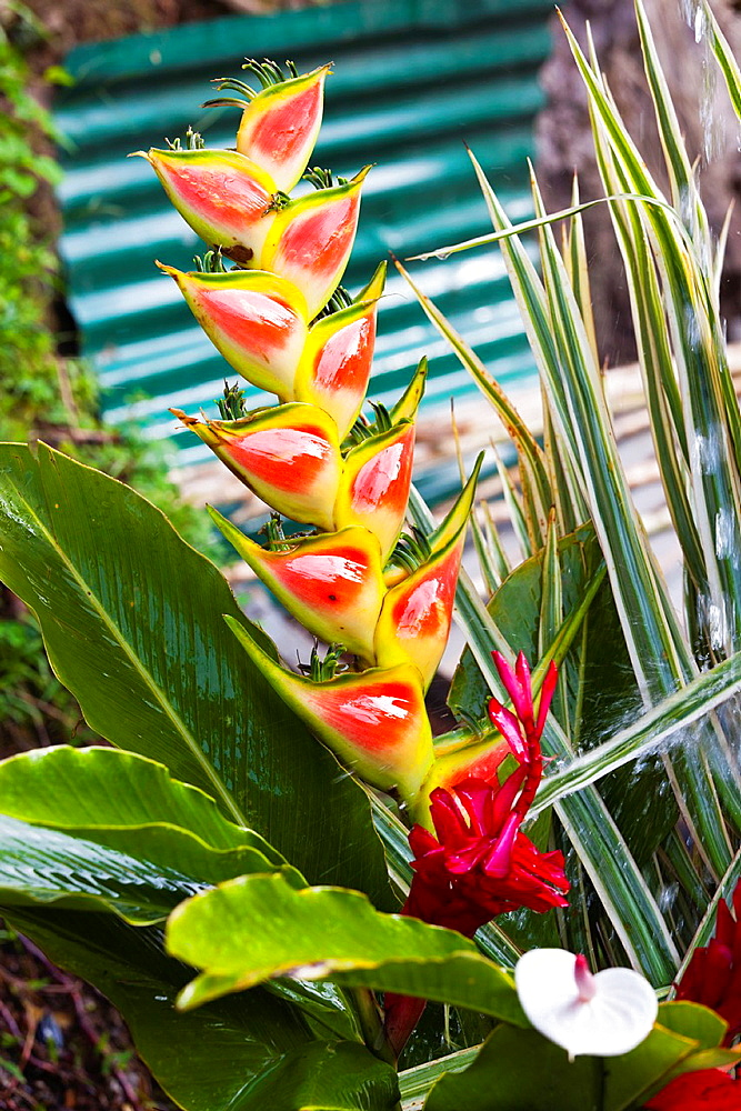 Dominica, Roseau, tropical vegetation, heliconia,