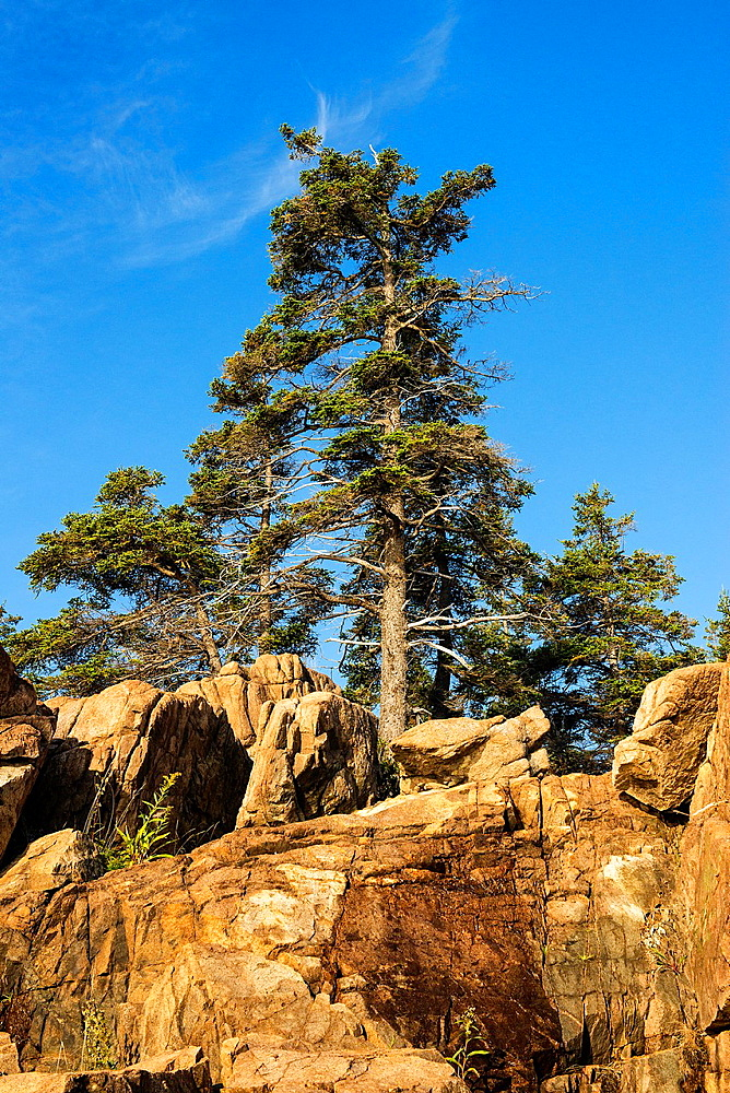 Spruce tree and granite rock, Acadia National Park, Maine, USA
