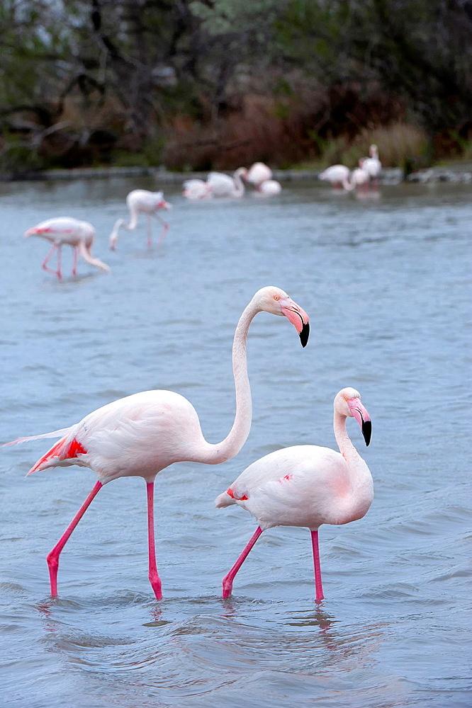 Greater Flamingos Phoenicopterus roseus, Ornithological park of Pont-de-Gau, Saintes Maries de la Mer, Camargue, France