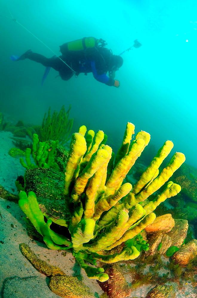Sponges Lubomirskiidae lake Baikal, Siberia, Russia, island Olkhon