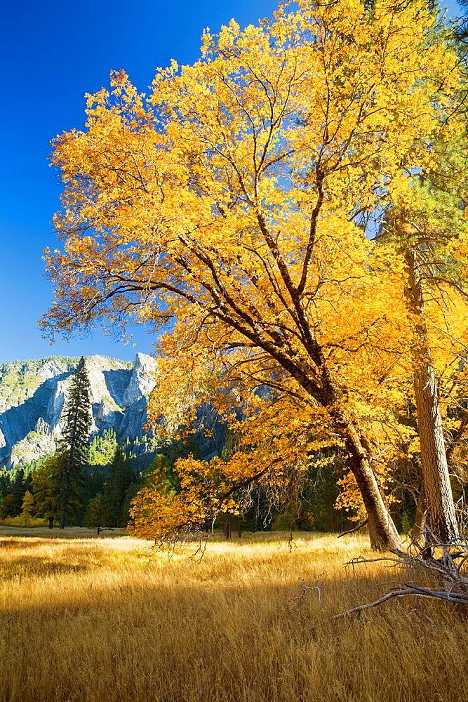 Yosemite Valley, Yosemite National Park, California, USA, El Capitan Meadow, black oak Quercus kelloggii and ponderosa pines Pinus ponderosa, granite cliffs, November