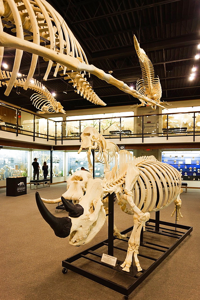 USA, Oklahoma, Oklahoma City, Museum of Osteology, animal skeletons