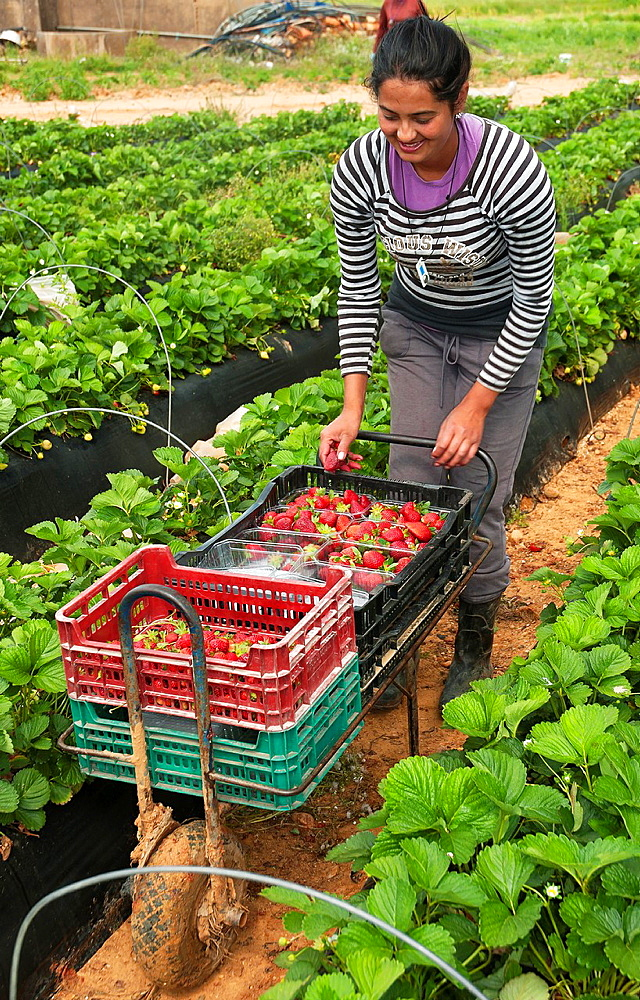 Collecting strawberries, La Redondela, Huelva-province, Spain