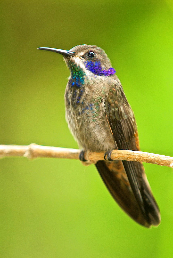 Brown violetears Colibri delphinae perched in the cloud forest near Caracas, Venezuela