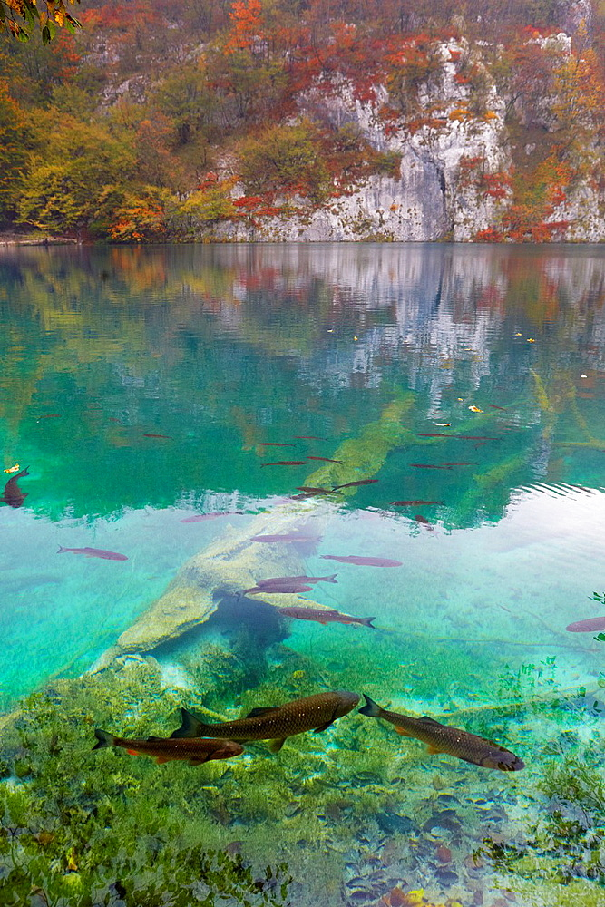 Croatia, Plitvice Lakes National Park, fish in the crystal clear water of lake, Plitvice, central Croatia.