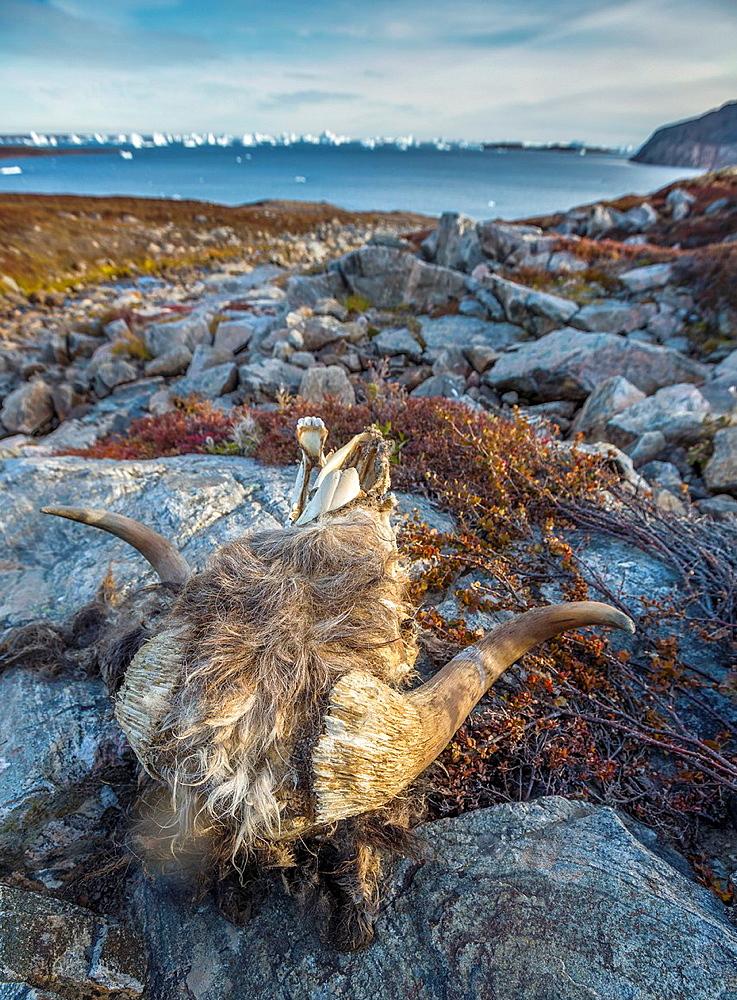 Head of muskox on the rocks, Scoresbysund, Greenland.