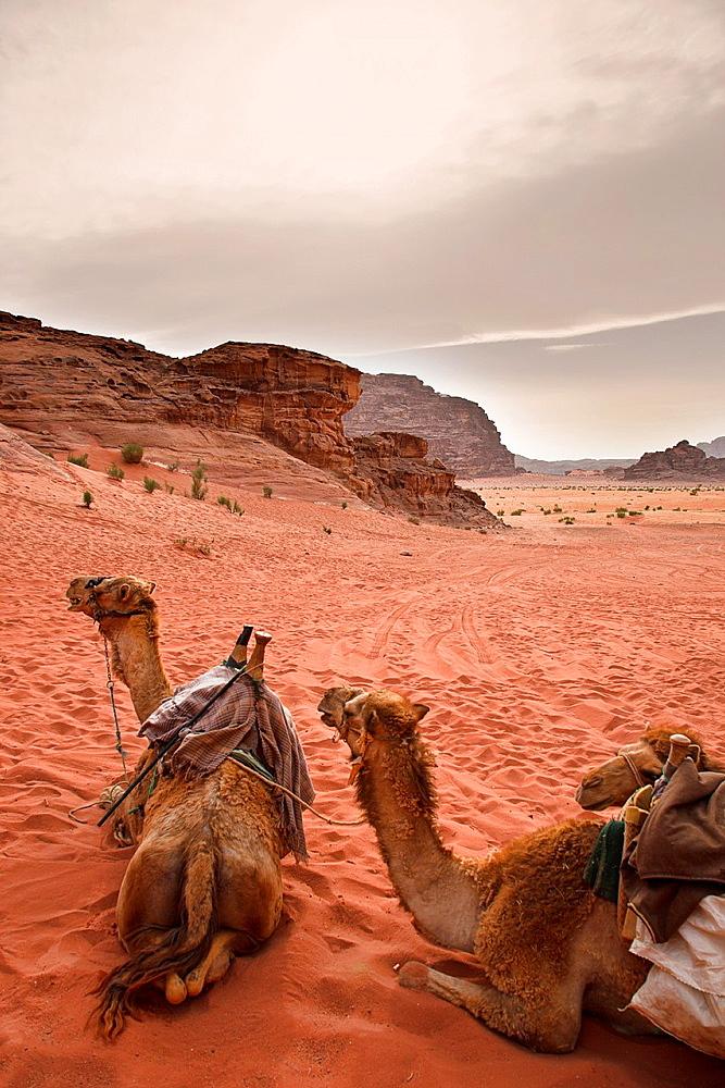 Camels in wadi rum desert. jordan.