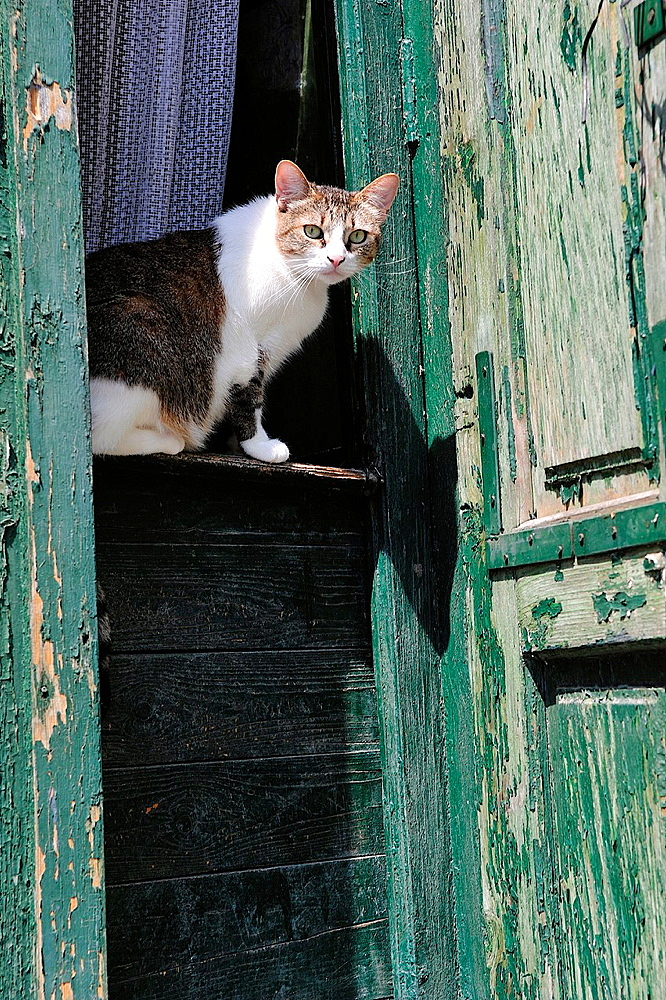 Cat on a door guard. Sighisoara, Romania - 817-441984