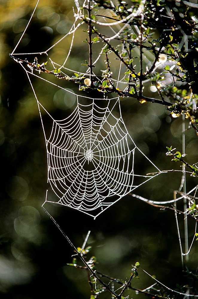 Spider Net, Spider's Web in the Early Morning Dew, New Zealand