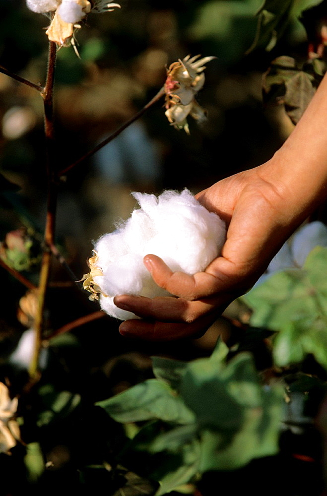 Cotton harvest by Hand, Close up, Kyrgyzstan.