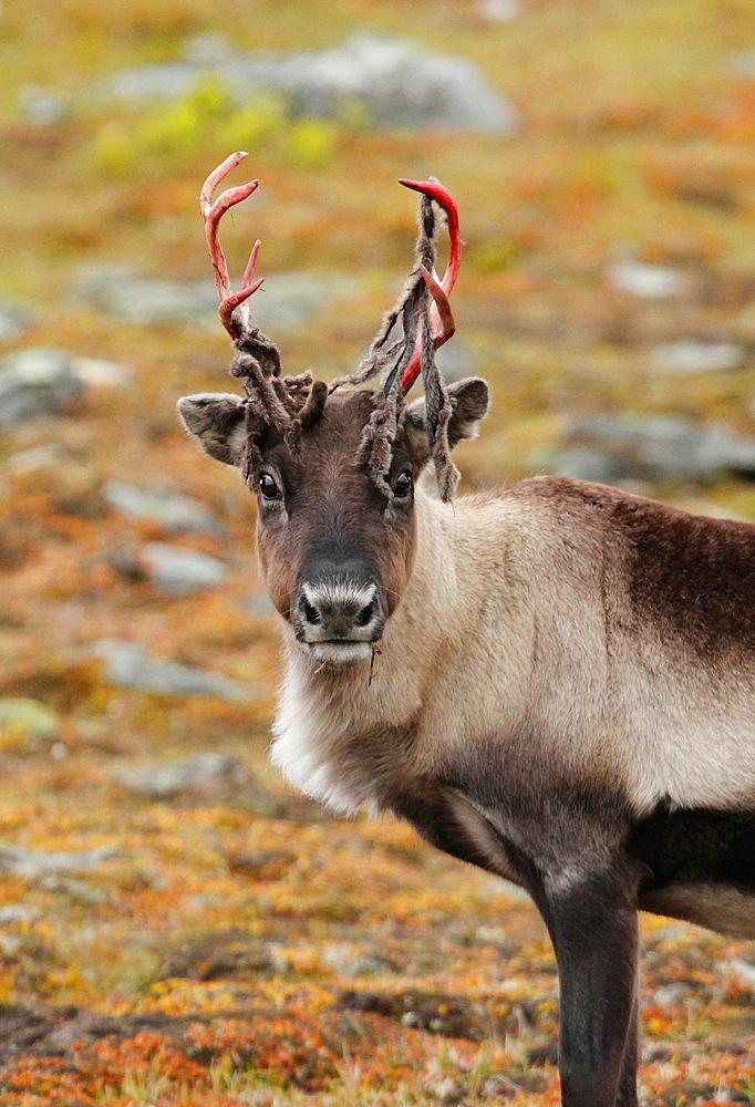 Reindeer, Lappland, Sweden.
