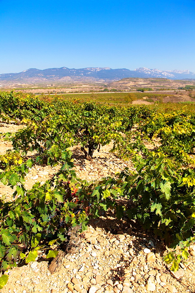 Harvest season in Briones, La Rioja, Spain.