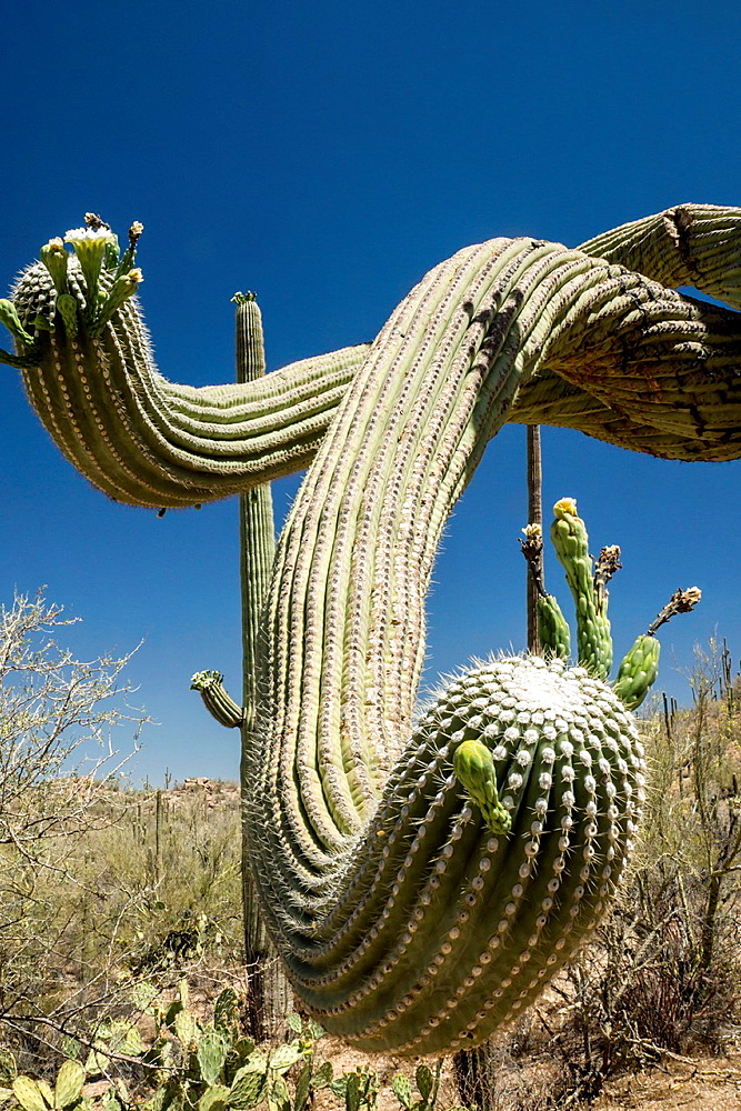 The branch, or arm, of a gigantic, old Saguaro cactus reaches out as if to greet visitors with its prickly touch.
