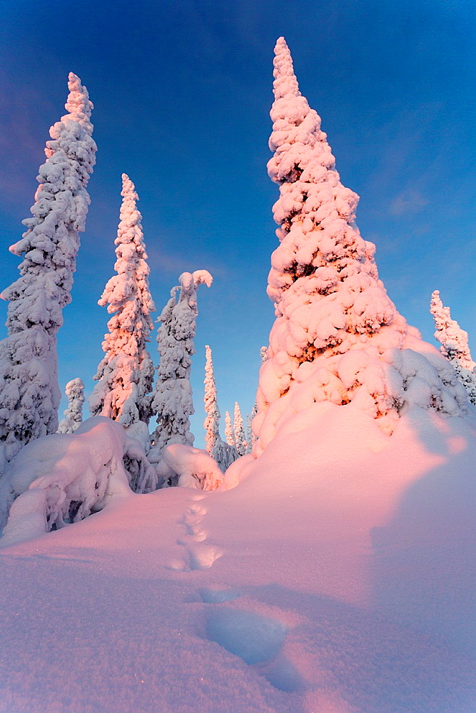 Winter landscape with snowy spruces on mount Hirvas in December with afternoon sun shining in Gallivare, Swedish lapland.
