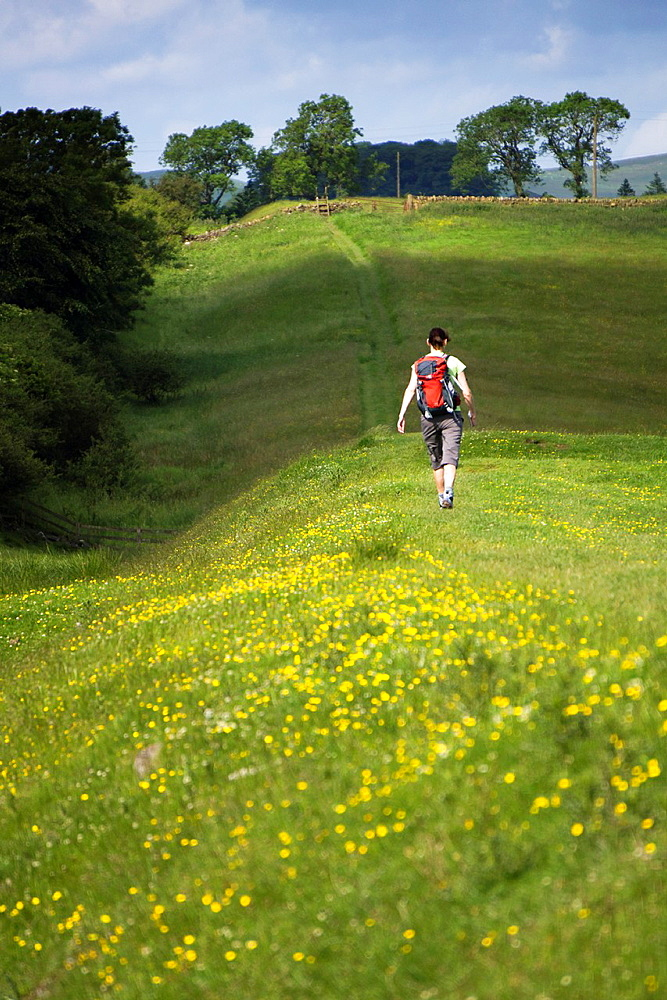 A hiker walking alongside the Vallum on the Hadrians Wall Walk in Northumberland, North East of England, UK.