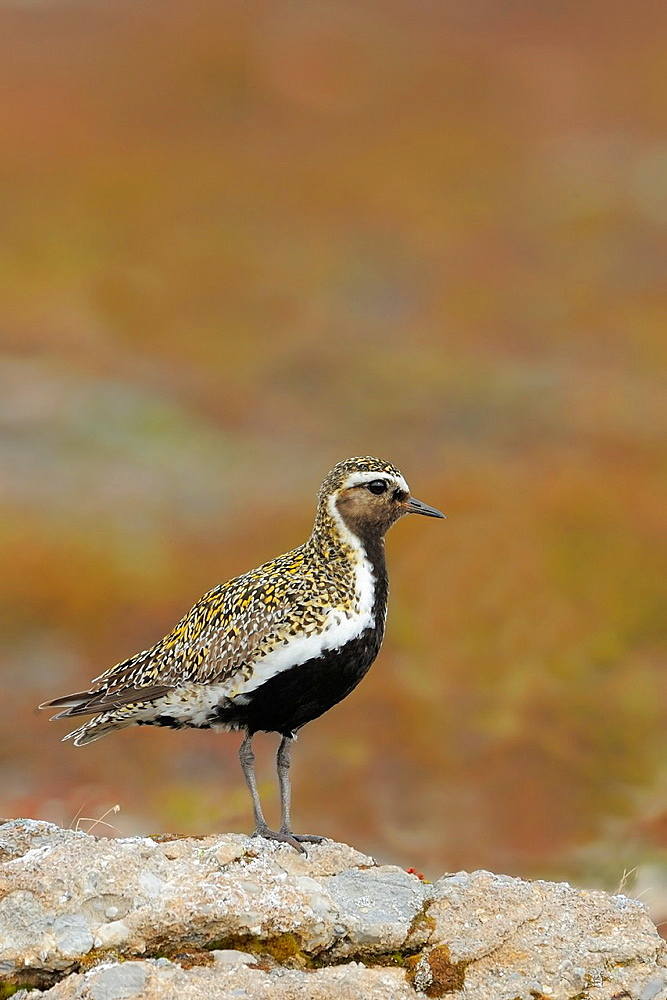 Golden plover  Varanger Peninsula Norway.