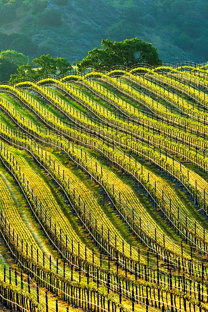 Rows of wine grape vines in Vineyard in the Santa Ynez Valley, Santa Barbara County, California.